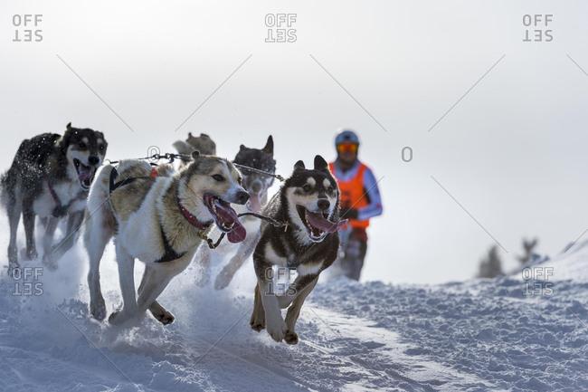 Sled dog racing, sled dog team in winter landscape, Unterjoch, Oberallgau, Bavaria, Germany, Europe