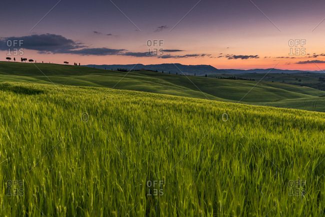 Tuscan landscape with cornfield, sunset, San Quirico d'Orcia, Val d'Orcia, Tuscany, Italy, Europe