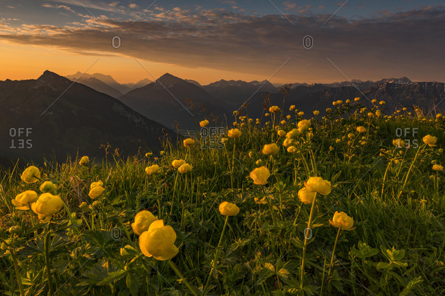 Sunrise behind meadow with Globeflowers (Trollius europaeus) and Lechtaler Alps in the background, Tannheimer Tal, Tyrol, Austria, Europe