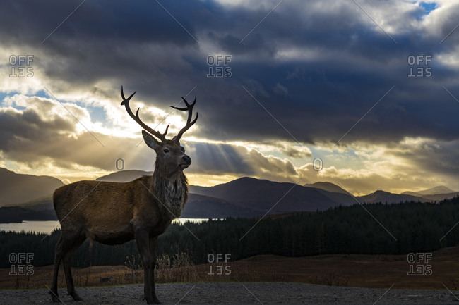 Red deer (Cervus elaphus) backlit, Glen Coe, Fort William, Highlands, Scotland, United Kingdom, Europe