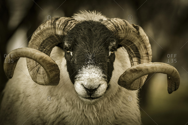 Scottish Blackface Domestic sheep (Ovis gmelini aries) with big horns in a meadow, animal portrait, Isle of Sky, Scotland, United Kingdom, Europe