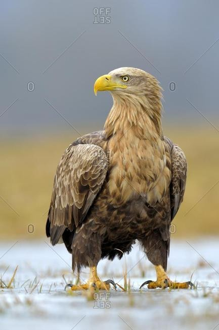 White-tailed Eagle (Haliaeetus albicilla), adult, perched on ice, Lodz Province, Poland, Europe