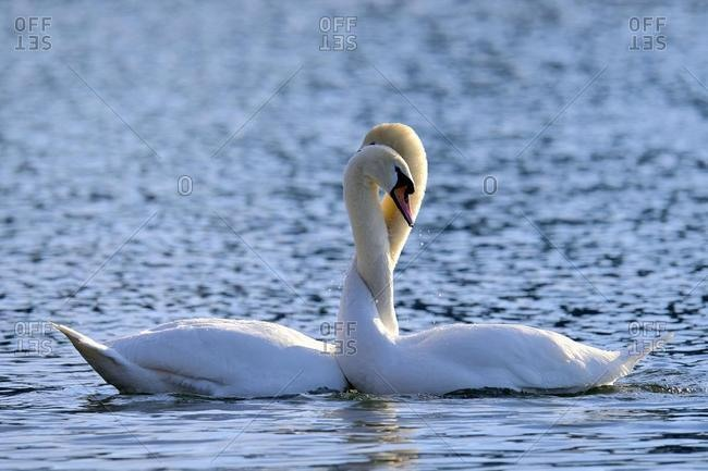 Mute Swans (Cygnus olor), pair with necks entwined, courtship behaviour, Lake Zug, Canton of Zug, Switzerland, Europe