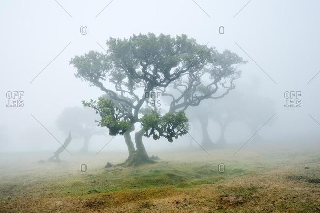 Old laurel forest or Laurissilva Forest, stinkwood (Ocotea foetens) trees in fog, UNESCO World Heritage Site, Fanal, Madeira, Portugal, Europe