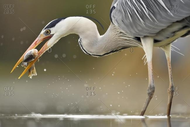 Grey heron (Ardea cinerea), stands in the water with prey fish in the beak, National Park Kiskunsag, Hungary, Europe