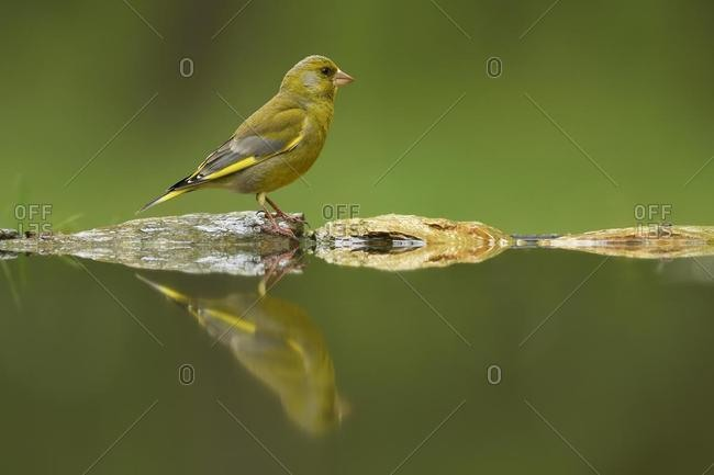 European greenfinch (Chloris chloris), male, reflected in pond, Kiskunsag National Park, Hungary, Europe