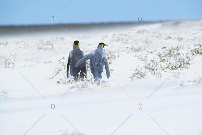 King Penguins (Aptenodytes patagonicus) walking through a snowstorm, East Falkland, Falkland Islands, South Atlantic, South America