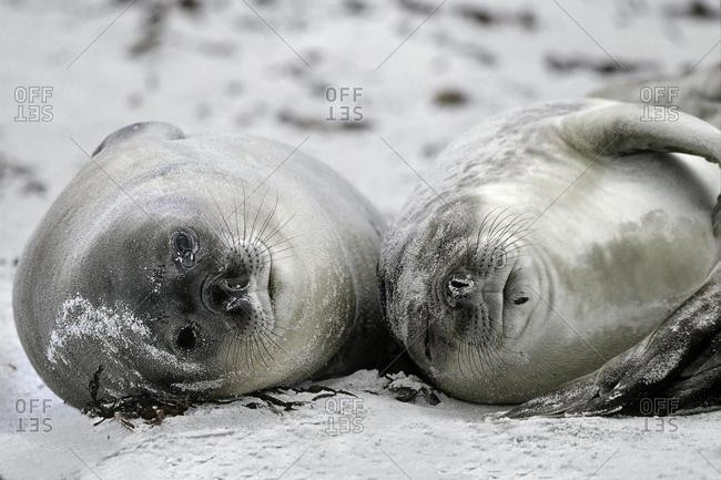 Southern Elephant Seal pups (Mirounga leonina) enjoying the beach, Sea Lion Island, Falkland Islands, South America