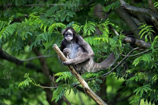White-bellied spider monkey (Ateles belzebuth), adult on tree, occurrence South America, captive