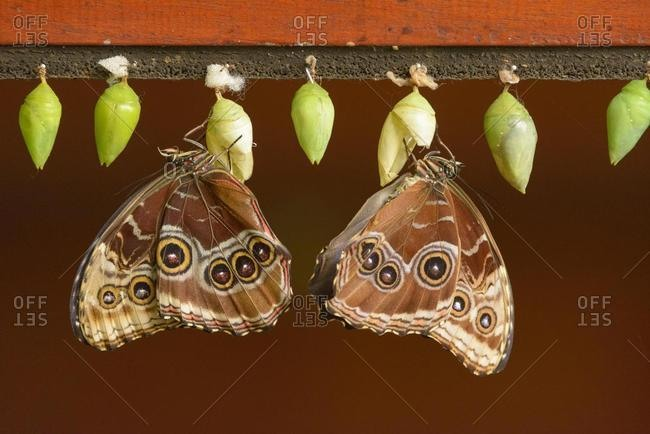 Helenor Morpho (Morpho helenor), hatched from chrysalis, captive, Alajuela province, Costa Rica, Central America