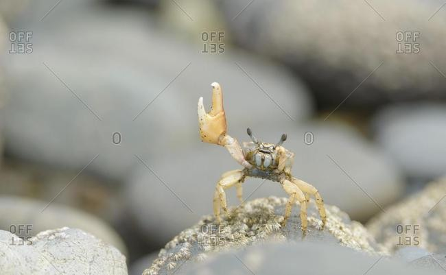 Fiddler Crab (Uca) waving on a rock, Puntarenas Province, Costa Rica, Central America