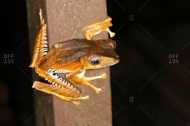 Borneo eared frog (Polypedates otilophus), night scene, Kubah National Park, Sarawak, Borneo, Malaysia, Asia