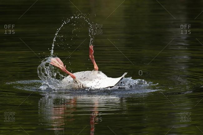 Bathing Greylag Goose (Anser anser) splashing with water, lying on her back in the water, Schleswig-Holstein, Germany, Europe