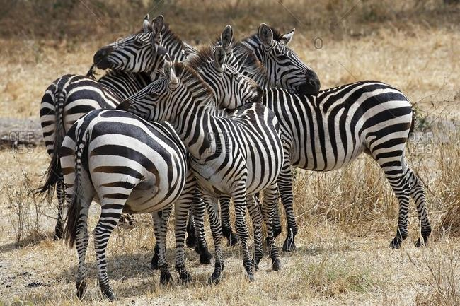 Zebra group (Equus quagga) grooming each other, Tarangire National Park, Tanzania, Africa