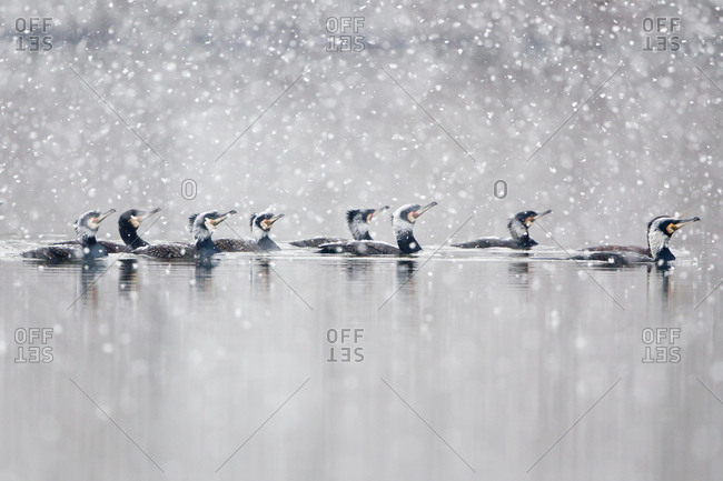 Floating Great Cormorants (Phalacrocorax carbo) during snowfall, North Hesse, Hesse, Germany, Europe