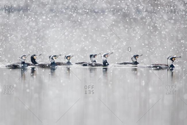 Floating Great Cormorants (Phalacrocorax carbo) during snowfall, North Hesse, Hesse, Germany, Europe