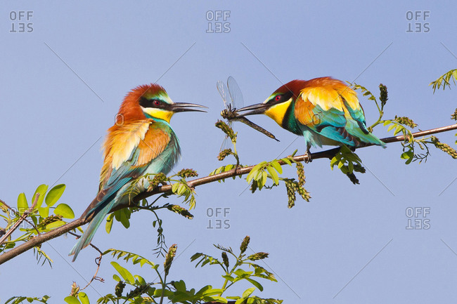 European Bee Eaters (Merops apiaster), feeding during courtship, male passing dragonfly to female, Saxony-Anhalt, Germany, Europe
