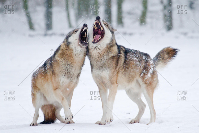 Howling Wolves (Canis lupus) in the snow, Hesse, Germany, Europe