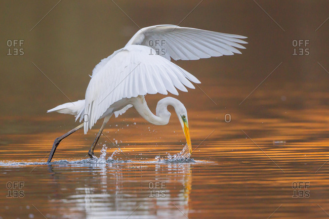 Great Egret or Great White Heron (Ardea alba) catching fish, North Hesse, Hesse, Germany, Europe