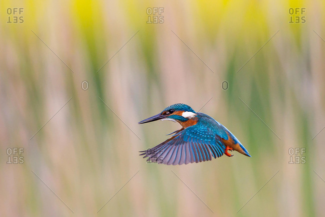Kingfisher (Alcedo atthis) in stationary flight, North Hesse, Hesse, Germany, Europe