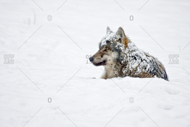 Wolf (Canis lupus), lying in the snow, captive