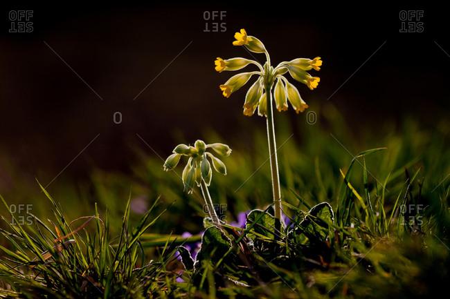 Common Cowslip (Primula veris), Hesse, Germany, Europe
