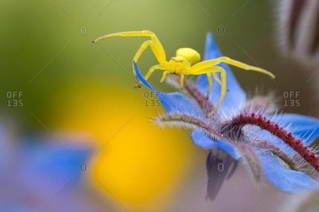 Goldenrod crab spider (Misumena vatia), hunting for blossom, Borage (Borago officinalis), Hesse, Germany, Europe