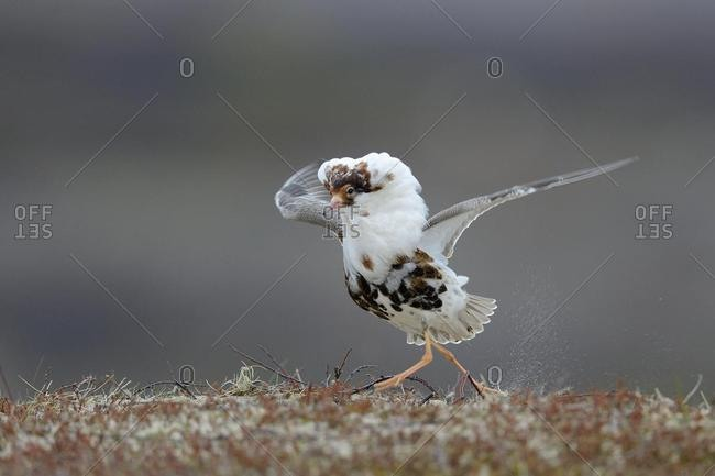 Ruff (Philomachus pugnax) in nuptial plumage, courtship, Varanger Peninsula, Norway, Europe