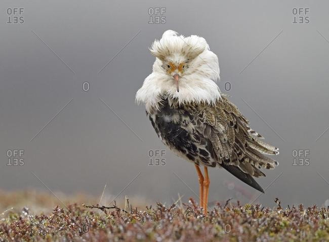 Ruff (Philomachus pugnax) in nuptial plumage, courtship, Varanger Peninsula, Norway, Europe
