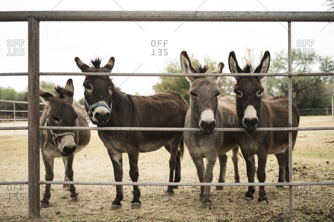 Four donkeys staring through fence on a farm in arizona