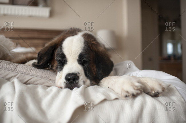 Large dog laying on a bed at home while taking a nap