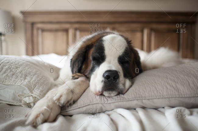 Sweet large dog sleeping on pillows in bed at home