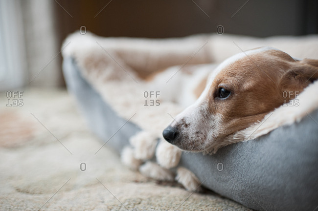 Dachshund puppy laying in his new bed at home looking out of frame