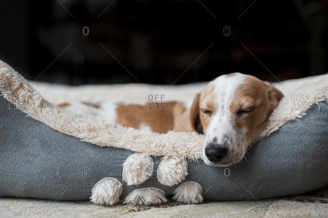 Dachshund puppy sleeping cozy at home in his dog bed