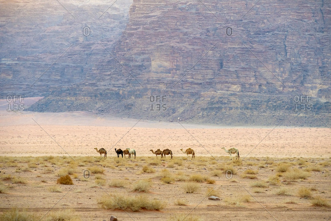 Wild camels in the desert, wadi rum protected area, jordan.