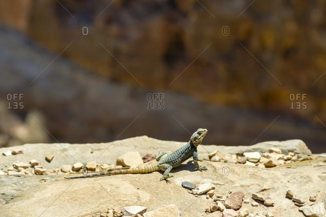 Lizard sunbathing on a rock, petra, jordan