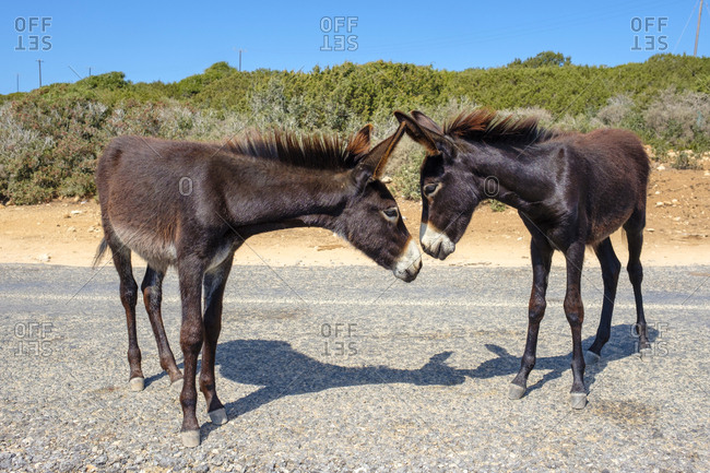 Wild donkeys on the karpaz peninsula, rizokarpaso, cyprus