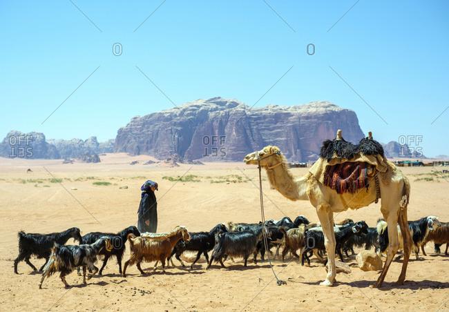Jordan, aqaba governorate, wadi rum village - june 4, 2017: bedouin woman with flock of goats next to camel, wadi rum, jordan