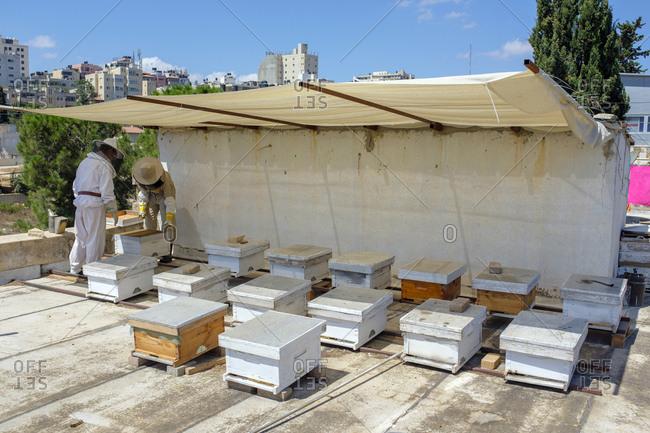 Palestine, west bank, ramallah - september 14, 2018: urban beekeeper checking the hives, ramallah, west bank, palestine.