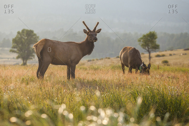 Elk graze in meadow at sunset in rocky mountain national park