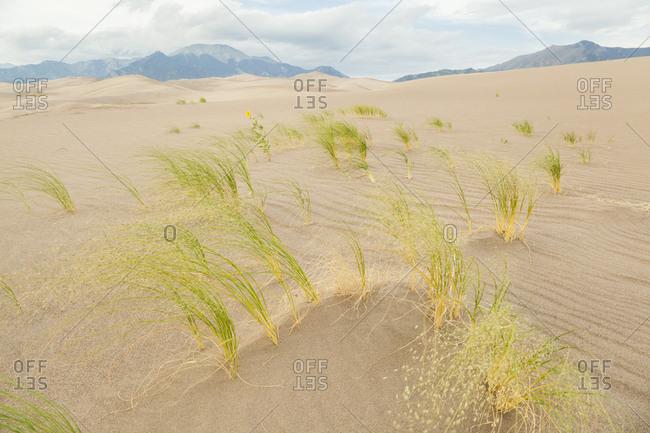 Blowout grass (redfieldia flexuosa) on sand dune