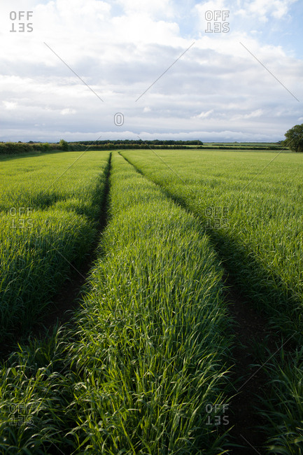 Tractor tracks in long green grass field with clouds and blue sky