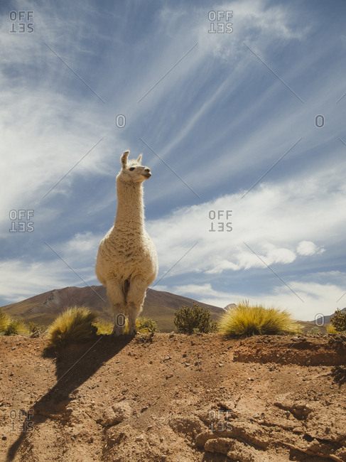 Llama getting closer to humans for social connection.