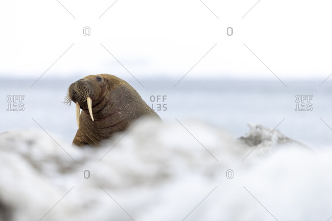 A walrus stands on the ground and looks in our direction