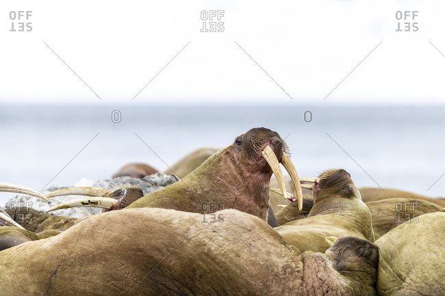 Walruses fight with tusks on the beach
