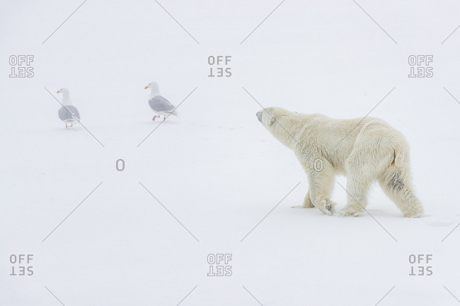 A polar bear walks on the snow and two seagulls walk in front of him