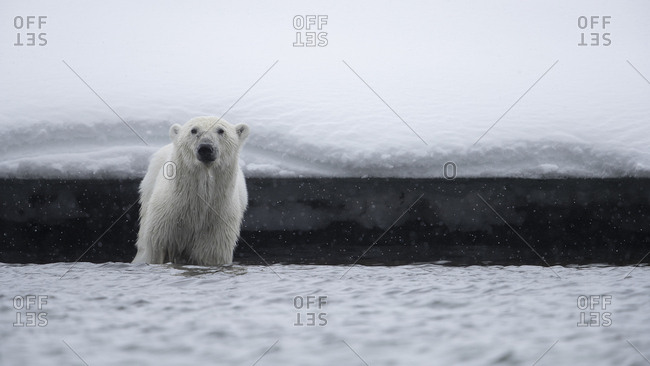 A polar bear stands in shallow water and looks to us