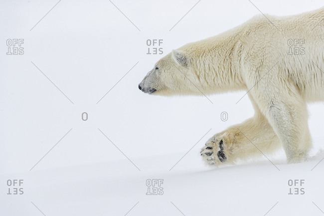 A polar bear walks in the snow, his front paw visible