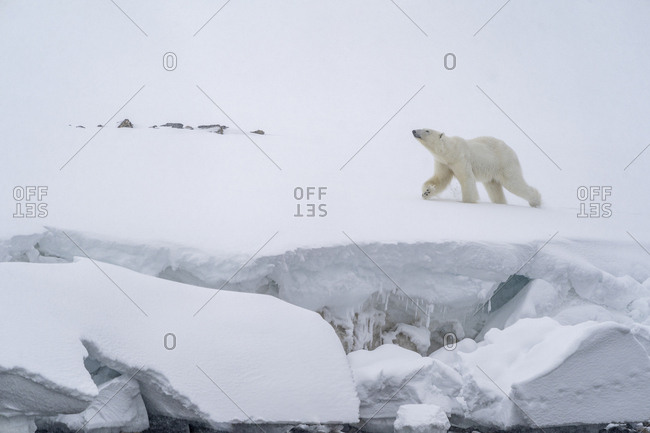 A polar bear walks in the snow along the coast next to a cornice