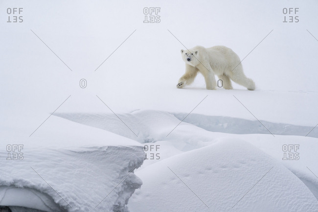 Polar bear walking in the snow on a ledge, along the coast